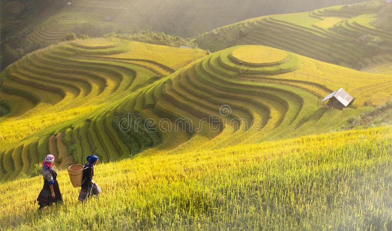 Rice fields on terraced of Mu Cang Chai royalty free stock image