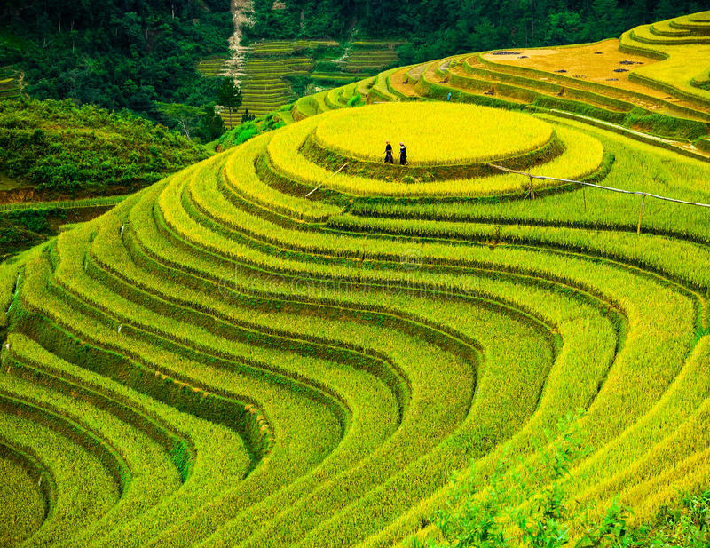 Rice fields on terraced of Mu Cang Chai, YenBai, Vietnam. royalty free stock images