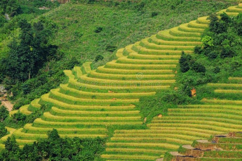Rice fields on terraced in Vietnam. Rice fields on terraced of Sapa (Sa Pa), Vietnam. Rice fields prepared to harvest at Northwest Vietnam stock photo