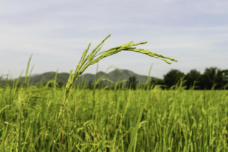 Rice fields in Thailand royalty free stock image