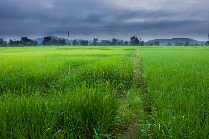Rice Fields Thailand stock photography