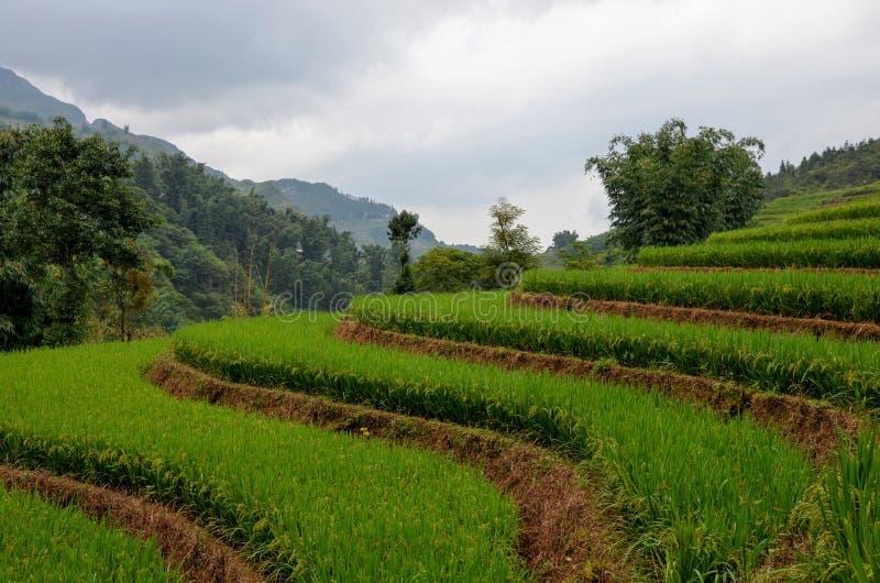 Rice fields Vietnam stock photo