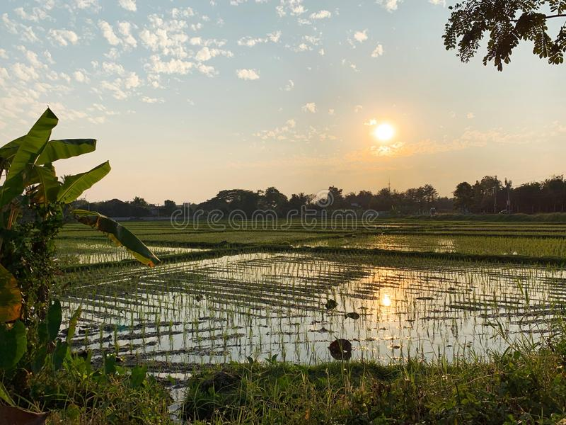 Rice fields view before sunset stock images