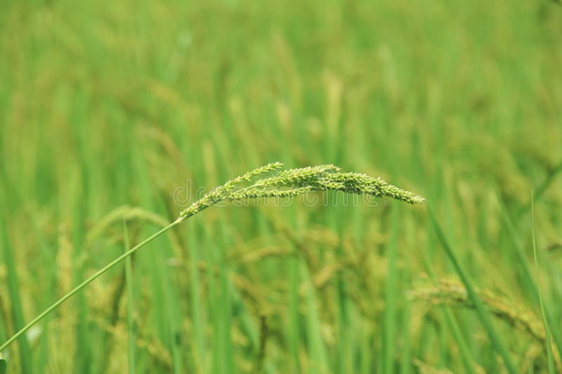 Rice Flower. royalty free stock image