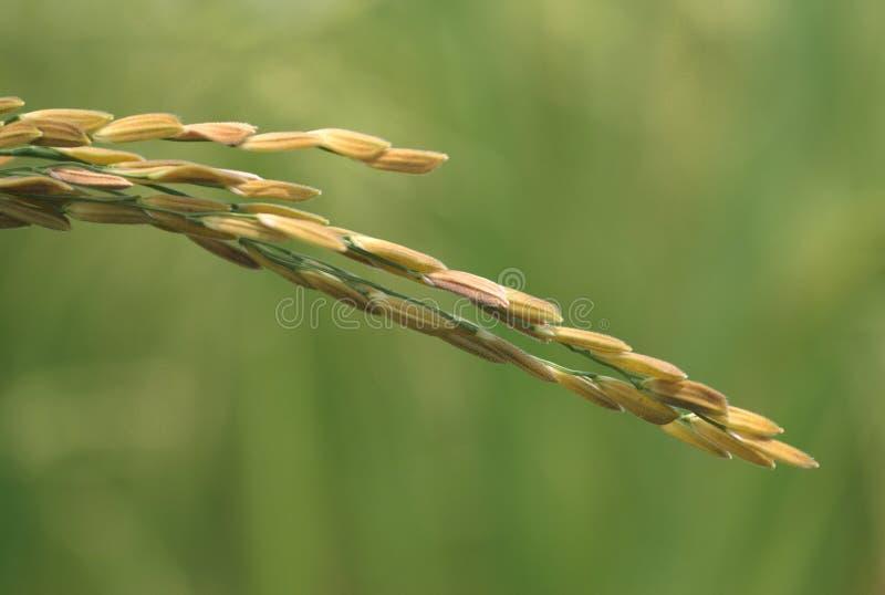 Download Rice Grains stock image. Image of farm, closeup, green - 6151949