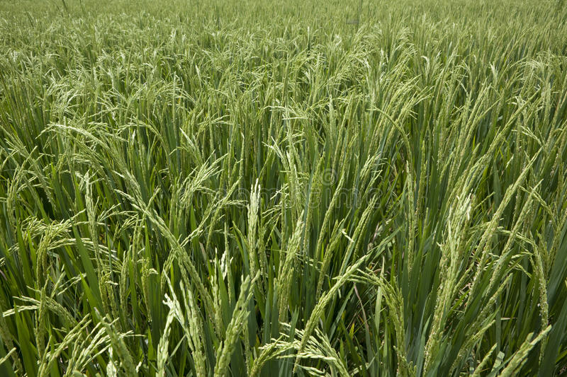 Download Rice Grains Ripening On Stalk Stock Photo - Image: 14409534