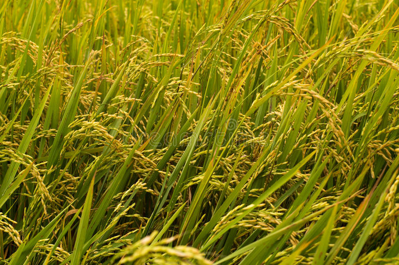 Download Rice Grass In A Rice Field In Cambodia Asia Stock Photo - Image: 91411302