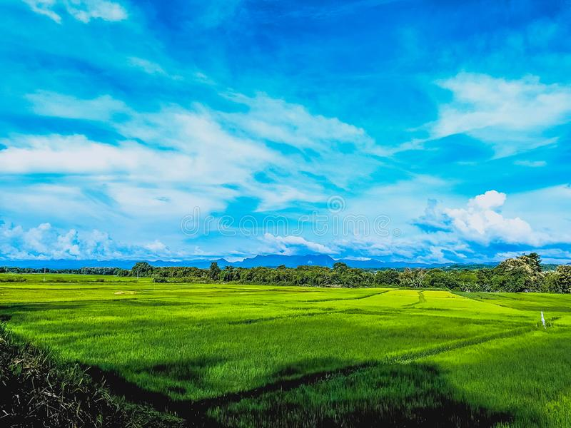 Rice green field and blue sky.  royalty free stock photos