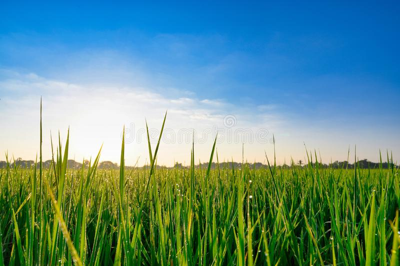 Rice green field with blue sky background.  royalty free stock photography