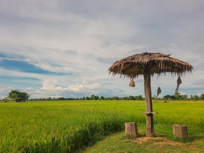 Rice green field and small cabana with sky and cloud bac. Rice field and light in green background with cabana and bird`s nest stock photo