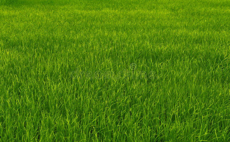 Rice green fields. stock photography
