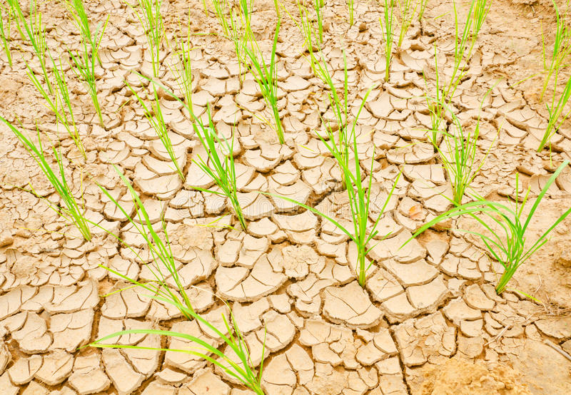 Download Rice Growing On Drought Field, Drought Land Stock Photo - Image: 28821302