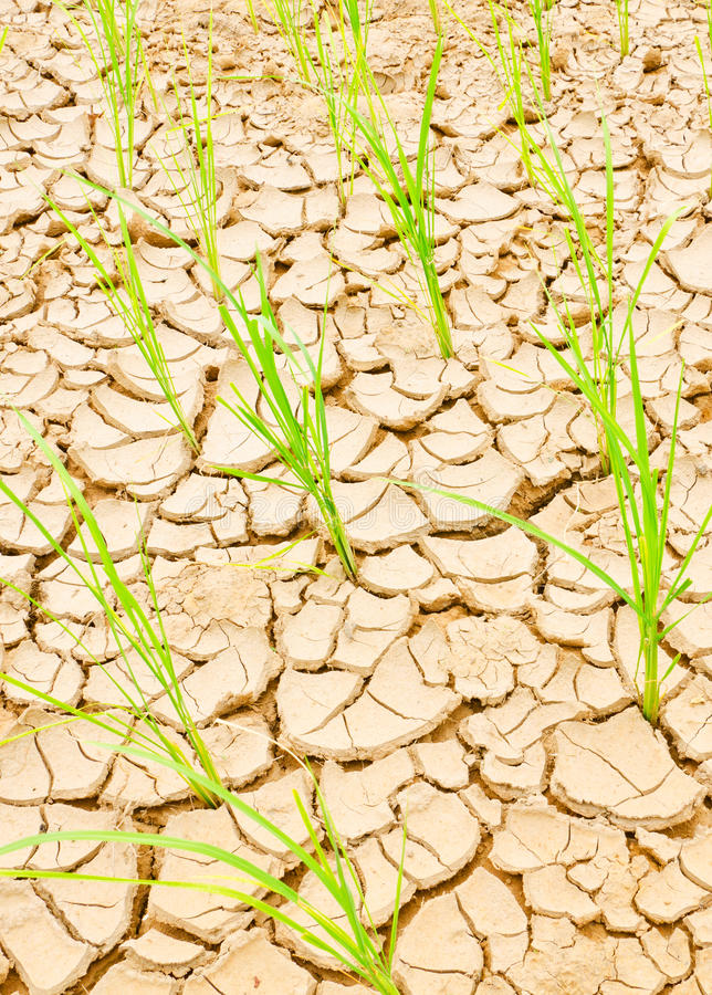 Download Rice Growing On Drought Field, Drought Land Stock Image - Image: 30497733
