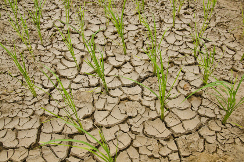Rice growing on drought land royalty free stock image