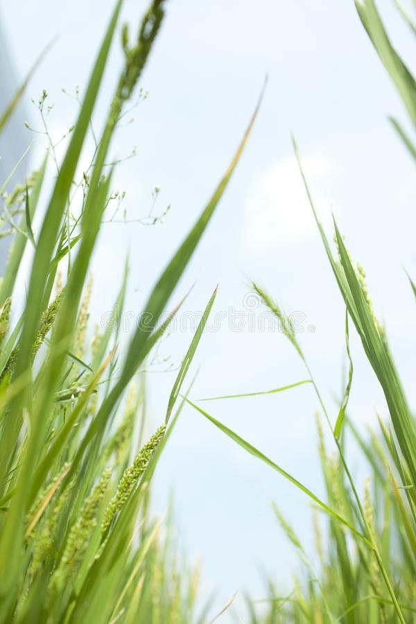 Rice Growing In Summer Stock Photo