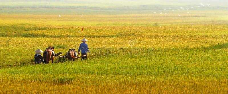 Rice harvest 01 stock photo