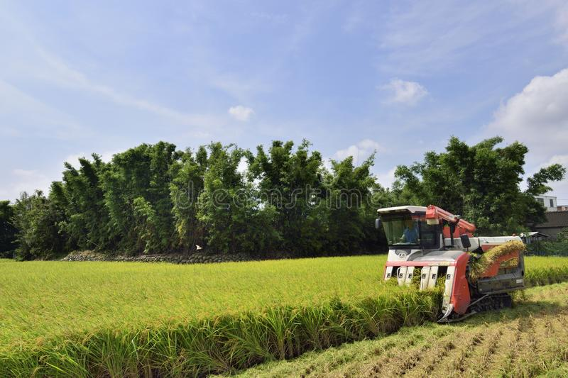 Rice harvest. royalty free stock images
