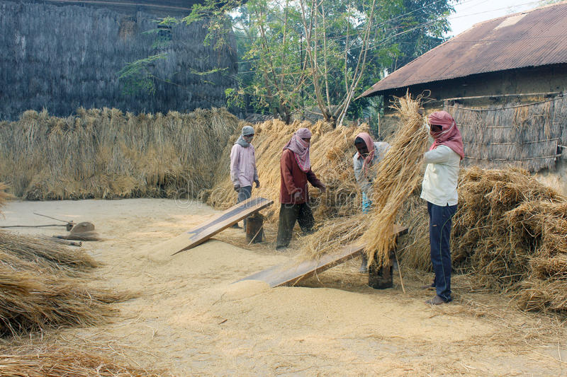 Rice harvesting. People are seen at the work of harvesting ripe paddy. They are doing their work peacefully royalty free stock photo