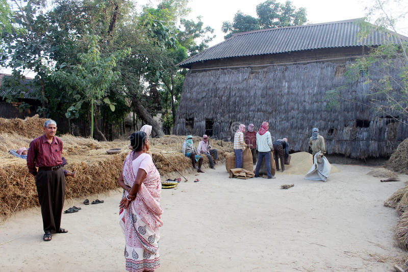 Rice harvesting. People are seen at the work of harvesting ripe paddy. They are doing their work peacefully stock image