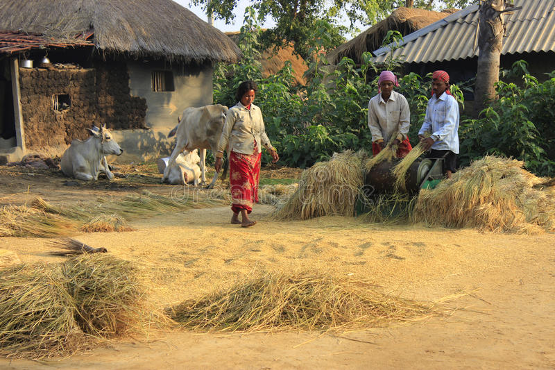 Rice harvesting. Spouse are seen at the work of harvesting ripe paddy. They are doing their work peacefully stock images