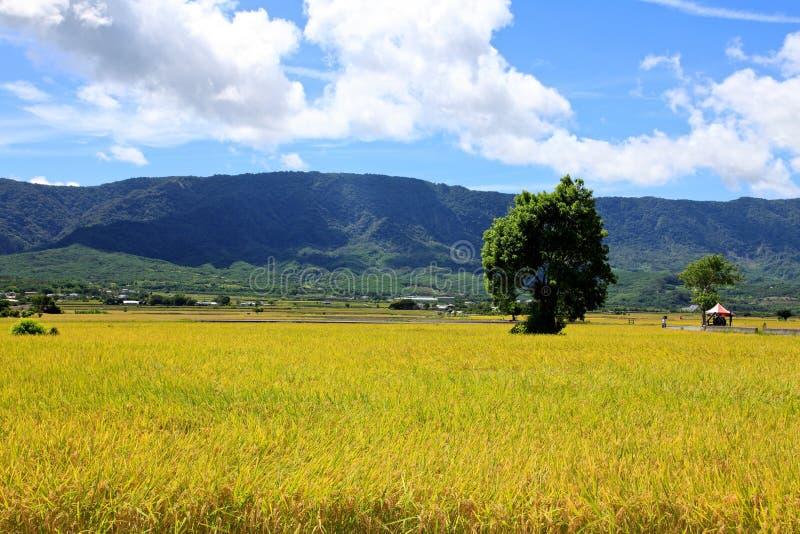 Rice Hometown in Taidong,Taiwan royalty free stock image