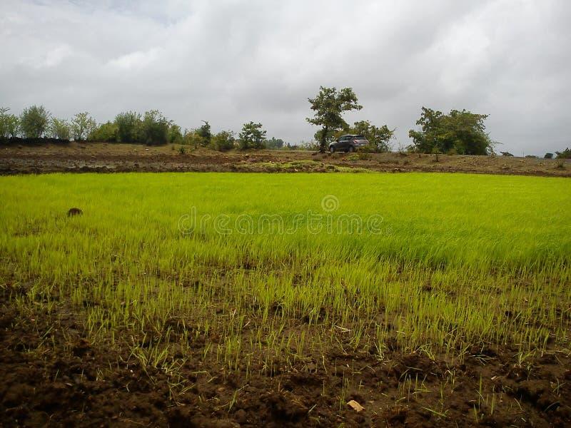 Rice, irlandczyków pola/ obrazy royalty free