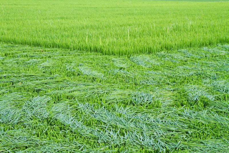 Download Rice Leaves Were Cut Before The Ear Stock Image - Image: 31935753