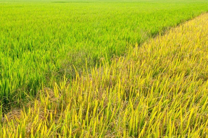 Rice stock photo