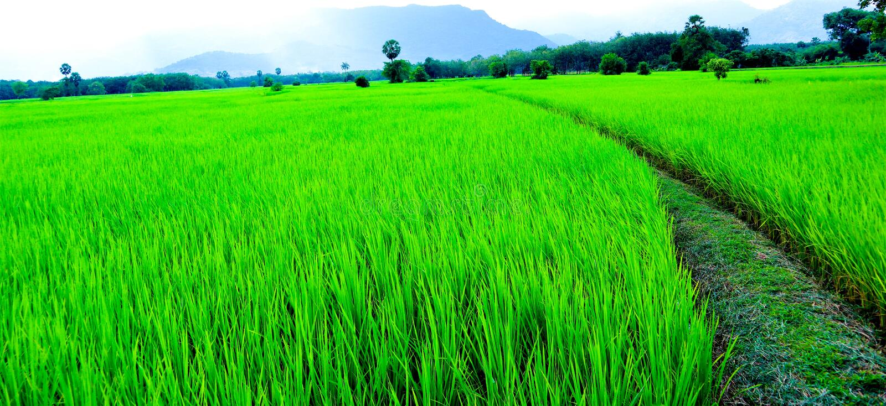 Rice niebo i pole fotografia stock