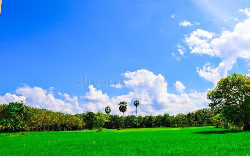 Rice niebo i pole zdjęcie stock
