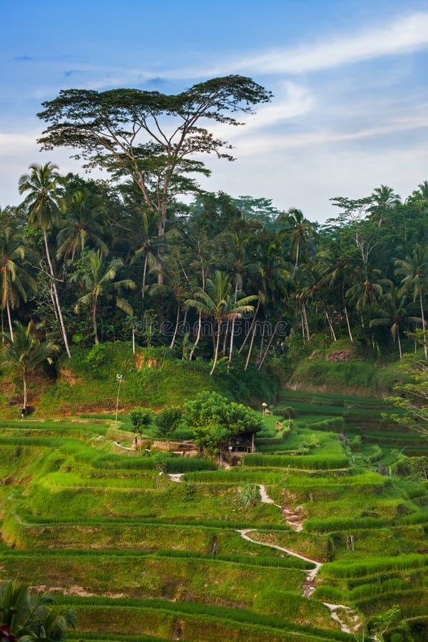 Rice odpowiada Jatiluwih, Bali wyspę Indonezja - fotografia royalty free