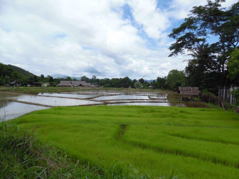 Rice odpowiada Pai, Tajlandia fotografia stock