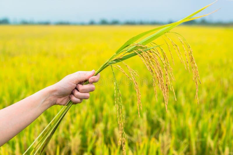 Rice odpowiada, skupia się na ryżowych słoma w rękach, obraz stock
