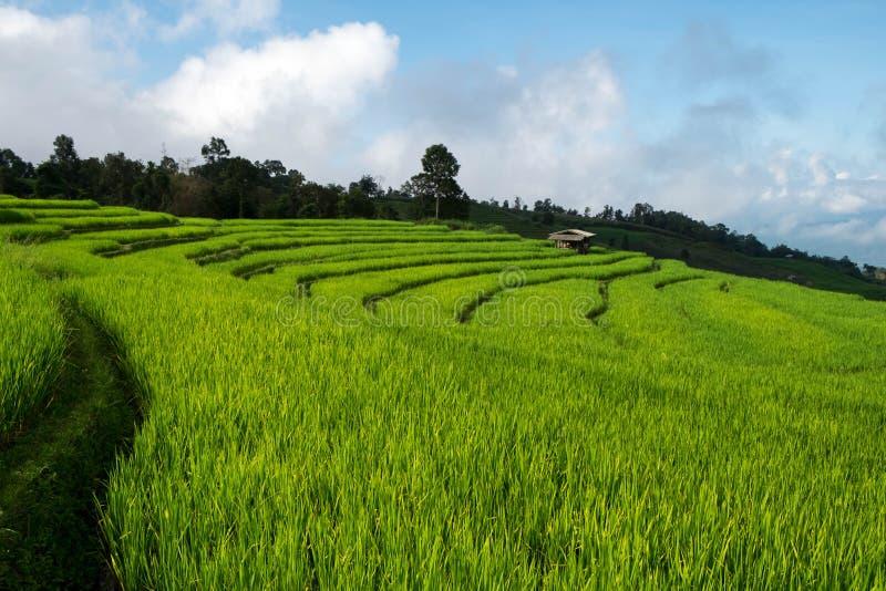 Rice odpowiada, Wiejski widok górski z pięknym krajobrazem fotografia stock
