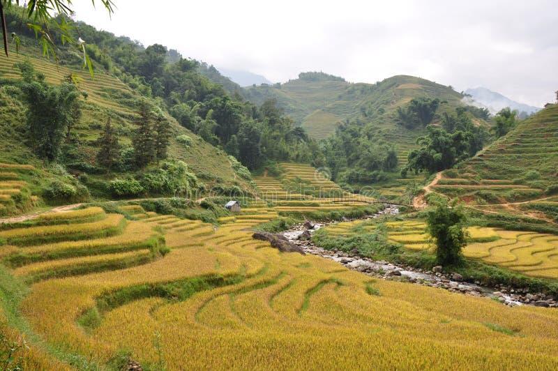 Download Rice paddies stock photo. Image of grain, china, cereals - 22020808