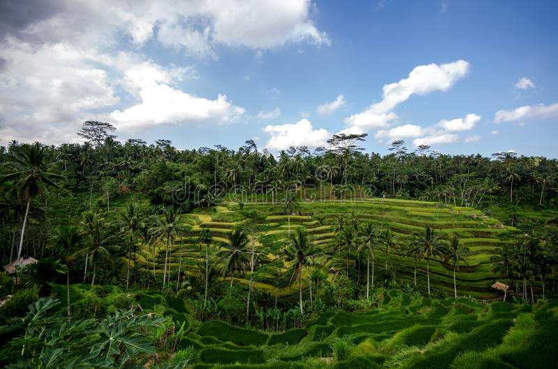 Download Rice paddies stock image. Image of agriculture, plantation - 27874757