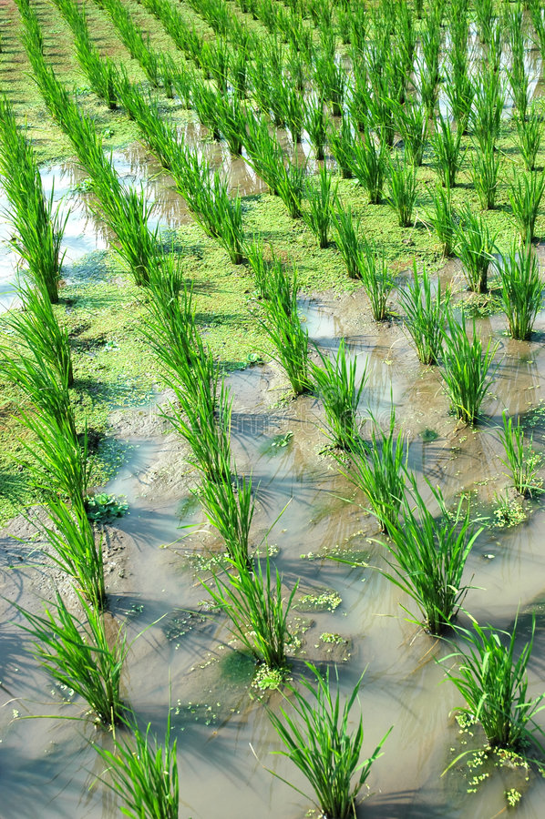 Download Rice Paddies stock image. Image of tropics, farming, asian - 7258585