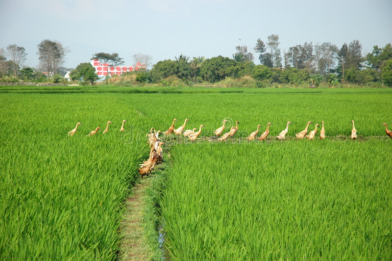 Download Rice Paddies stock photo. Image of plain, paddy, tropics - 7258612