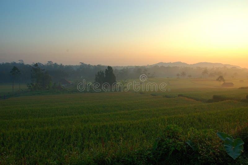 Rice Paddies Royalty Free Stock Photo