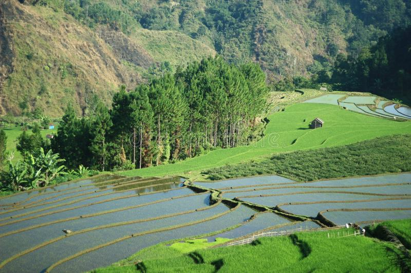 rice paddies and woods side by side royalty free stock image