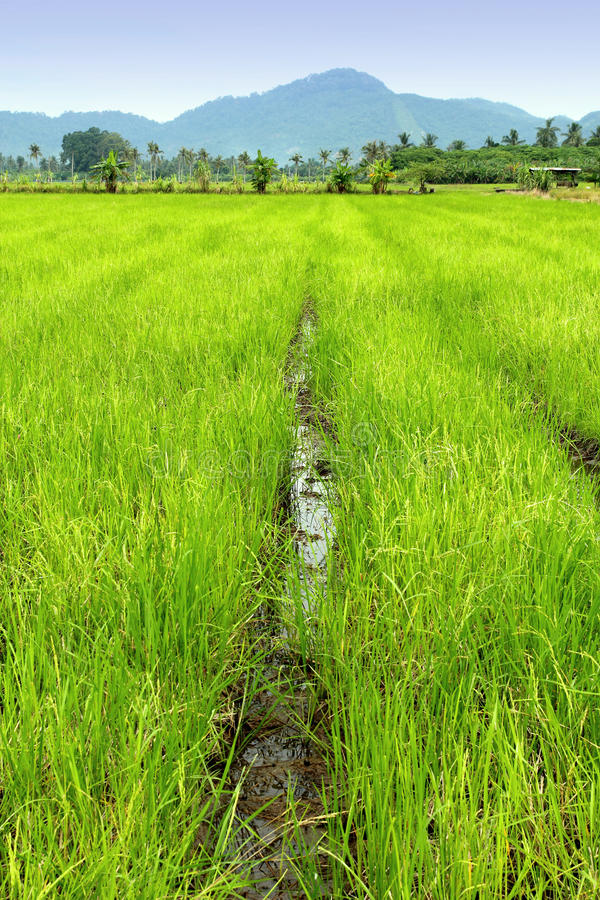 Free Rice Paddy Royalty Free Stock Photography - 15941567