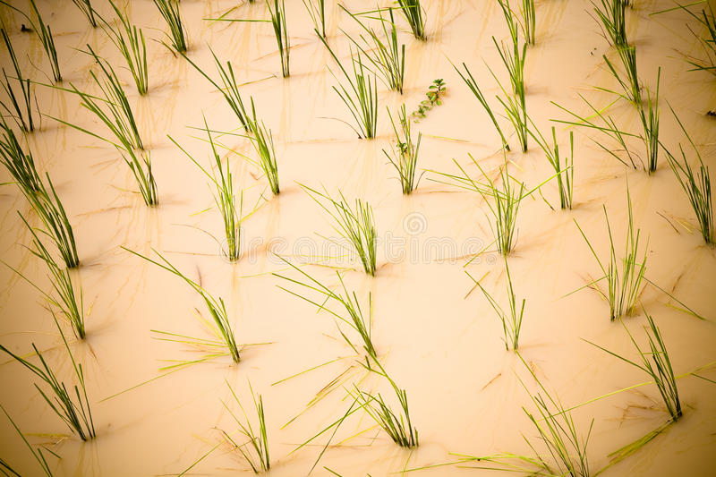 Download Rice paddy stock image. Image of rural, planting, food - 17799677