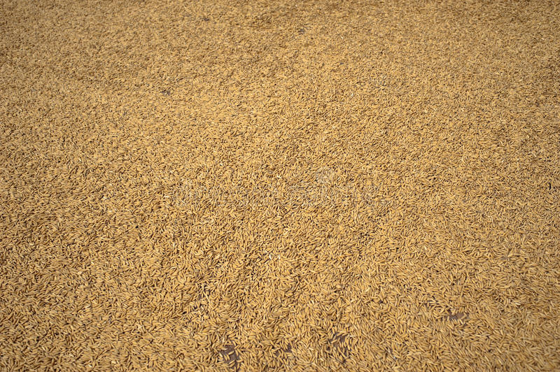 Download Rice Paddy Royalty Free Stock Image - Image: 20839656
