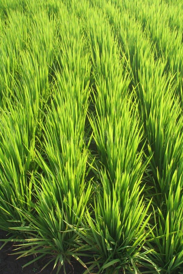 Rice paddy royalty free stock image