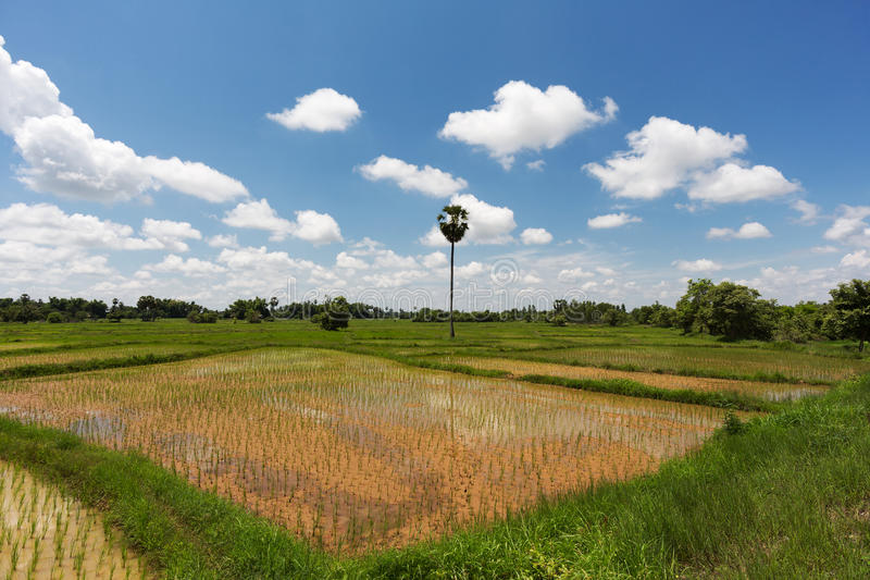 Download Rice Paddy stock image. Image of crop, asia, field, rice - 34111399