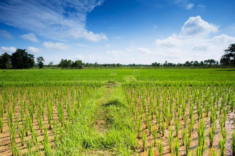 Download Rice Paddy stock photo. Image of nobody, nature, agriculture - 34113038