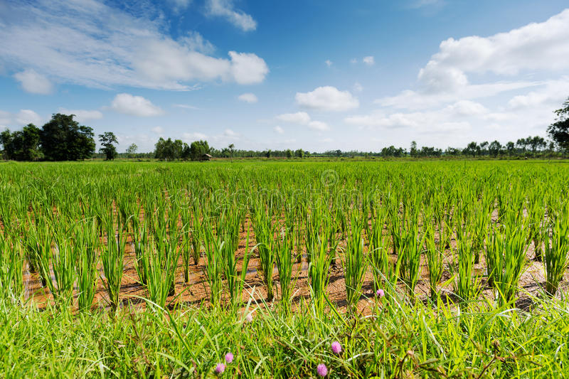 Download Rice Paddy stock photo. Image of agriculture, plant, horizontal - 34113132