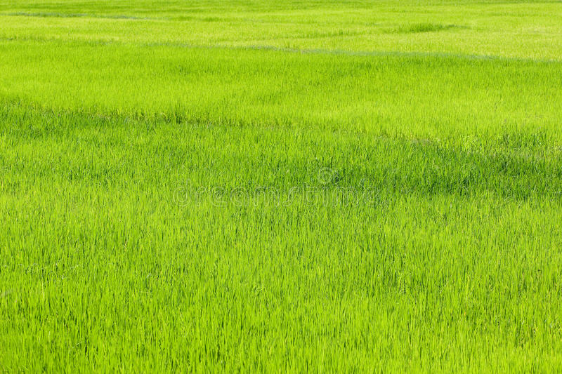 Rice paddy for background stock images