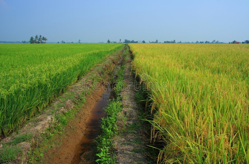 Download Rice Paddy Field Royalty Free Stock Photo - Image: 5297385
