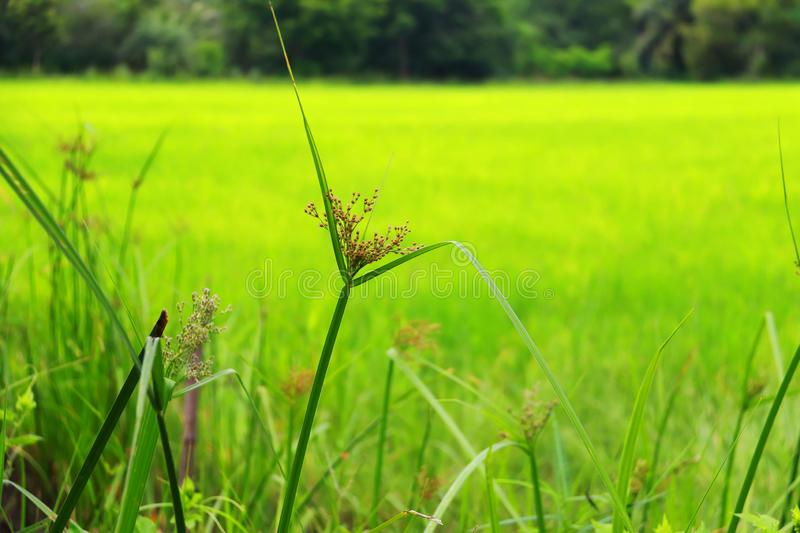 Rice paddy field of agricultural at rural in Thailand.  royalty free stock images